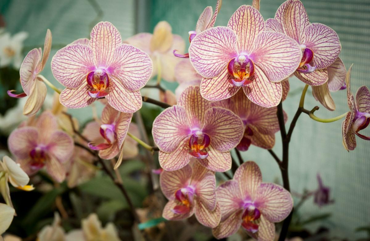 Orchids-6