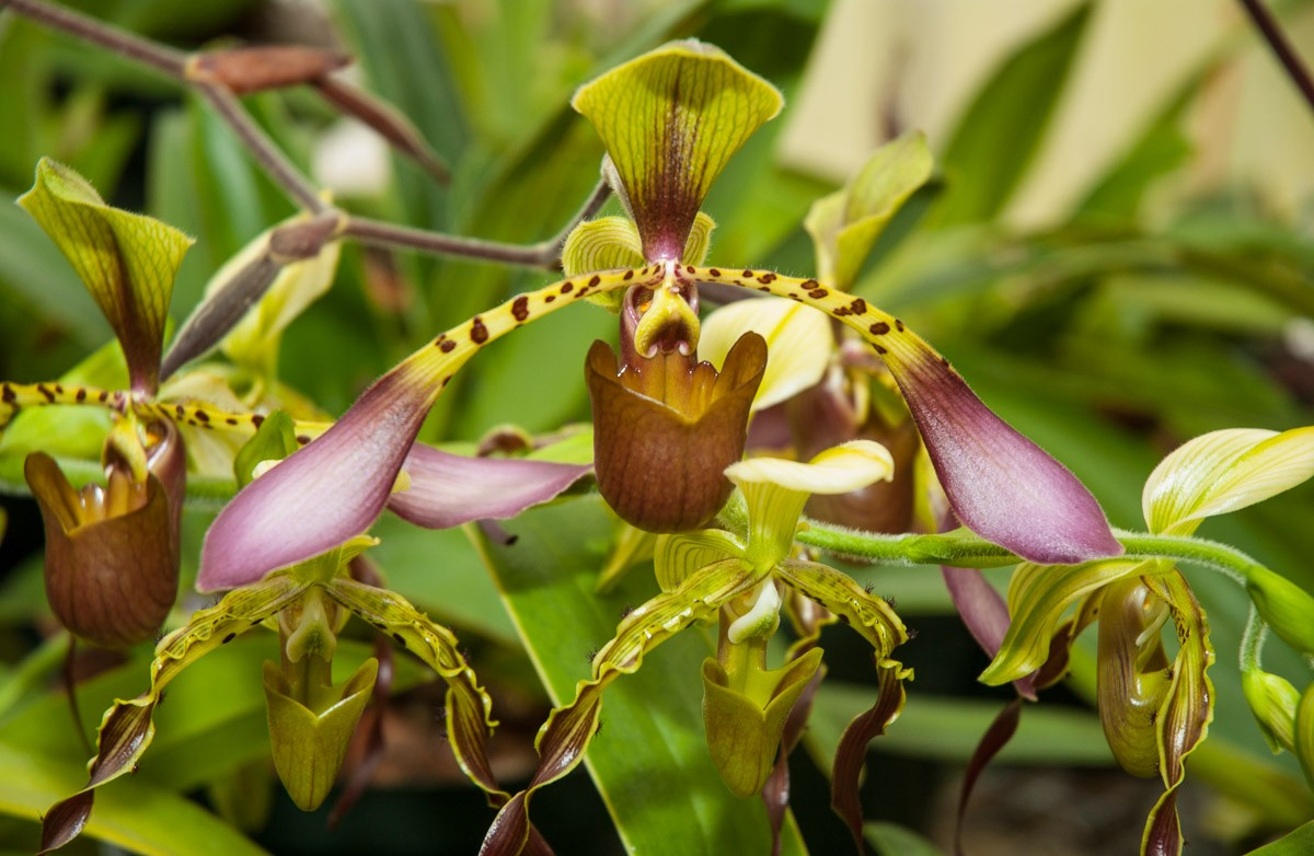 Orchids-7