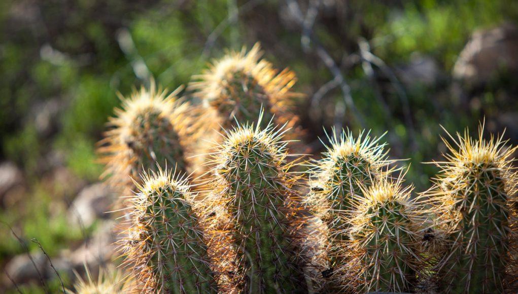 A cactus in Scottsdale Arizona.